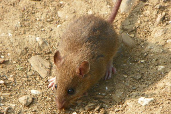 Rattus norvegicus (ratto di fogna)
