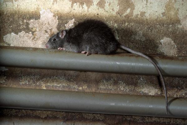 disinfestazione-Rattus-rattus-ratto-nero-tetti-como