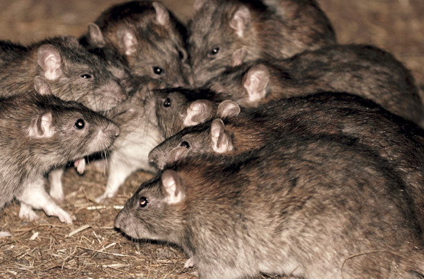 invasione-ratti-como-disinfestazione-casa-ufficio