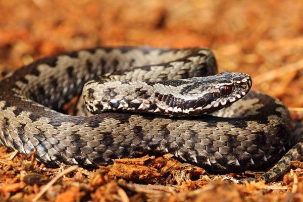 disinfestazione-serpenti-provincia-como