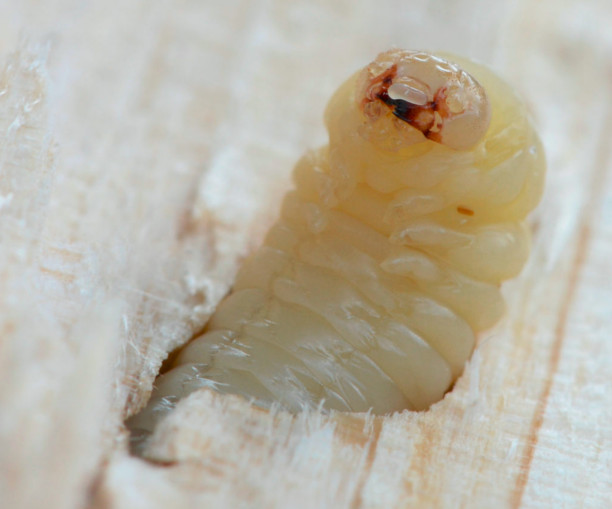 disinfestazione-tarli-larve-como-provincia-sicurezza-haccp