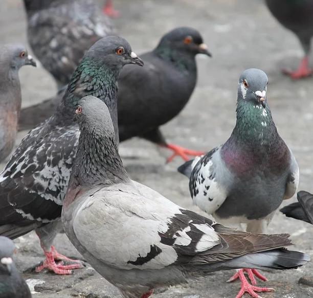 disinfestazione-allontanamento-colombi-varese-provincia