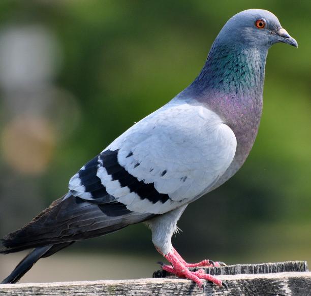 disinfestazione-allontanamento-piccioni-como-provincia
