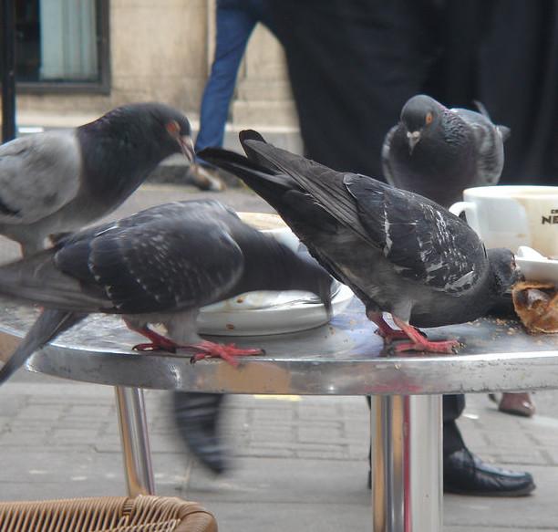 disinfestazione-allontanamento-piccioni-negozi-como
