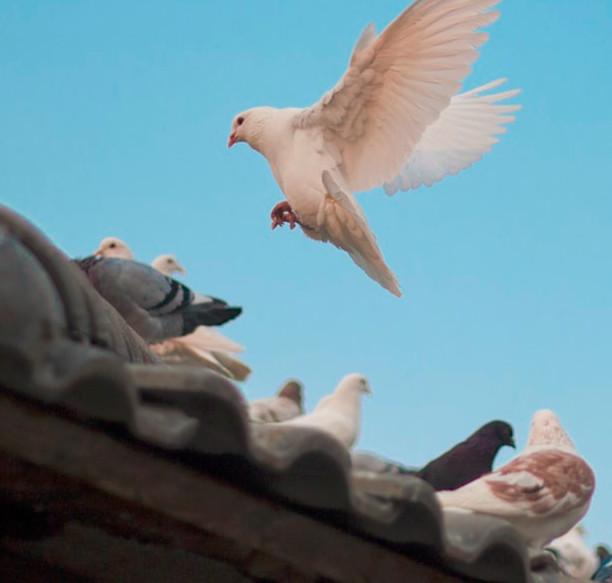 disinfestazione-allontanamento-piccioni-ristorante-como