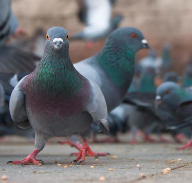 disinfestazione-allontanamento-uccelli-centro-storico-como