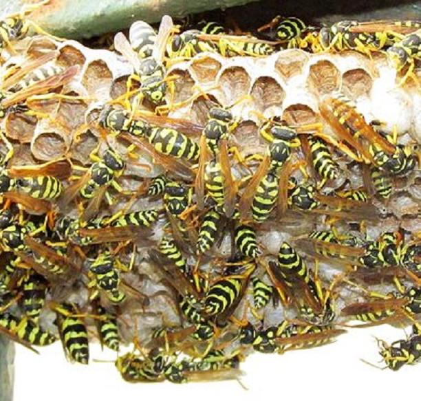 disinfestazione-nido-vespe-calabroni-como
