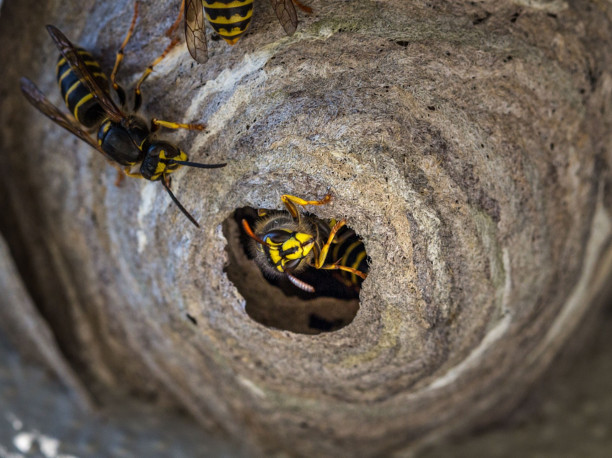 rimozione-nido-calabroni-como